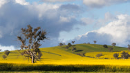Stock Video Footage of canola field and tree