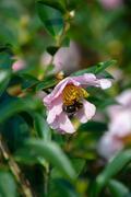 Bee on a camellia flower Stock Photos