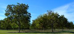 young pecan orchard 2 - stock photo