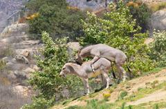 Mating African Wild Asses - stock photo