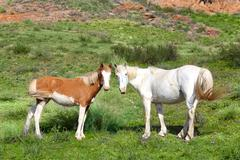 wild horses horse  steppe species adayev, jabe - stock photo