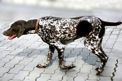 Animal dog dalmatiankoira pet Kuvituskuvat