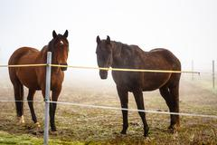 two brown horse in enclosure - stock photo