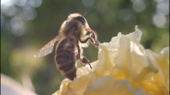 Bees preen - stock footage