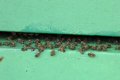 honeybees at the entrance to a hive - stock photo