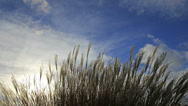 Stock Video Footage of Ornamental Grass with Silky Plumes on a Breezy Day Time Lapse 4096x2304