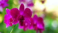 Stock Video Footage of Tropical pink orchid with shallow depth of field (DOF)