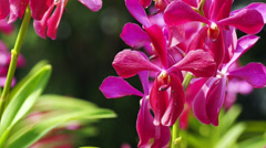 Tropical red orchid with shallow depth of field (DOF). Stock Footage