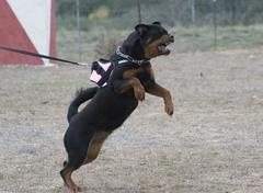 aggressive rottweiler - stock photo