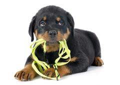 puppy rottweiler and leash - stock photo