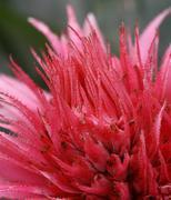 Macro red bromeliad Stock Photos