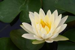 White lotus Stock Photos