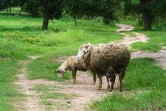 sheep mother and lamb - stock photo