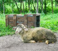 lamb and wood box - stock photo