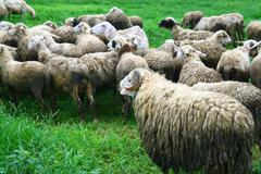 group of sheep - stock photo