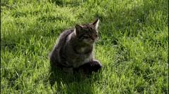 Wildcat Stock Footage