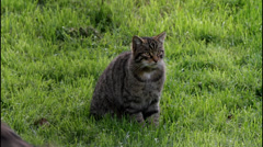 Scottish Wildcat Catching Food Stock Footage