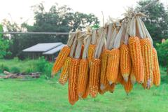 Corn group on natural background Stock Photos