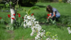 Bloom fruit tree twig woman pick red tulip flowers spring garden Stock Footage