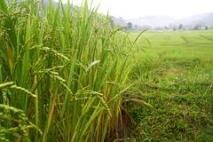 rice in paddy field , chaing mai, thailand - stock photo