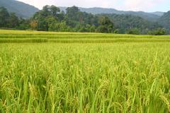 paddy filed - stock photo