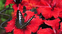Unidentified tropical black colored butterfly Stock Footage