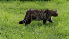 Scottish Wildcat Walking Stock Footage