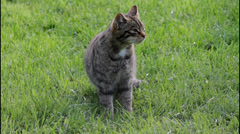 Scottish Wildcat Walking Out of Frame Stock Footage