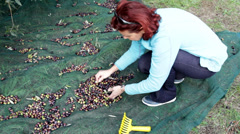 Woman collecting olives on olive harvesting net Stock Footage