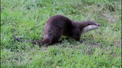 European Otter Stock Footage
