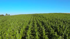 corn field - stock footage