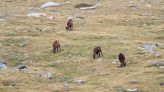 Chamois herd Stock Footage