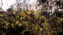 A Swarm of Insects Fly Around a Bush in the Late Afternoon Stock Footage