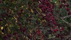 Red Berries in Fall or Autumn Stock Footage