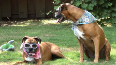 Boxer dogs with sunglasses - stock footage
