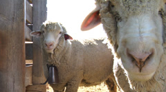 Sheep at a farm Stock Footage
