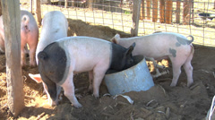 Pigs in pen Stock Footage