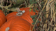 Pumpkin patch - stock footage