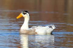 Male indian runner duck in blue water Stock Photos