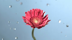 Raindrops on flower in slow motion Stock Footage