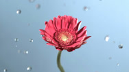 Stock Video Footage of Raindrops on flower in slow motion