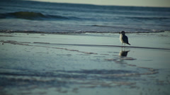 Seagull at Sunrise on Beach Stock Footage