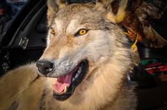 stuffed wolf - stock photo