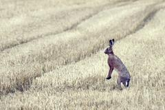 Hare in the field Stock Photos