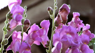 Stock Video Footage of Close up of purple flowers