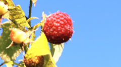 Close up of growing raspberries - stock footage