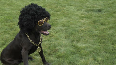 Dog in an afro wig and glasses Stock Footage