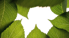 Big green leaves against white background - stock footage