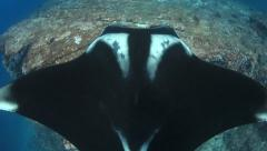 Manta ray from above Stock Footage