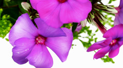 Bouquet of pansy Stock Footage